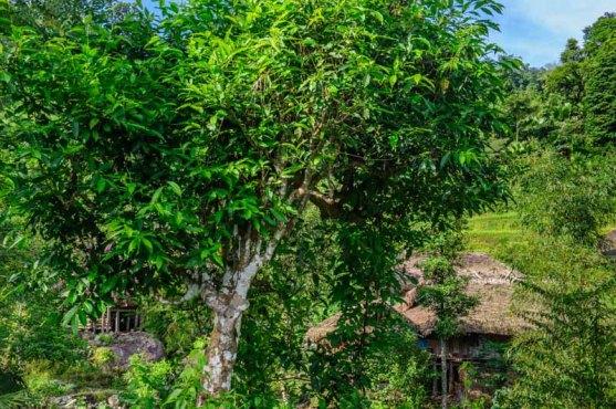 Một cây trà (chè) cổ thụ mọc ven đường