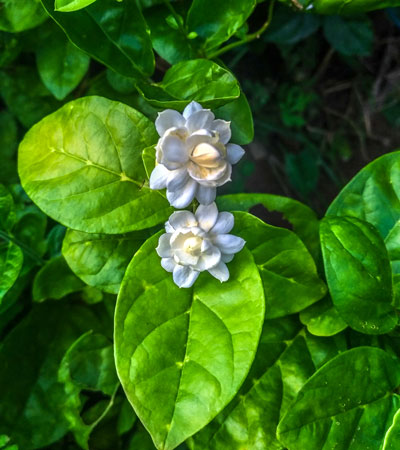 Jasmine-3